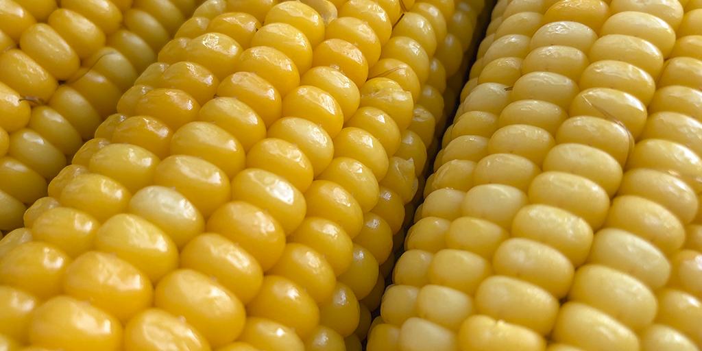 Sementes de Milho com excelente qualidade. Insumos assim que você deve ser capaz de adquirir.