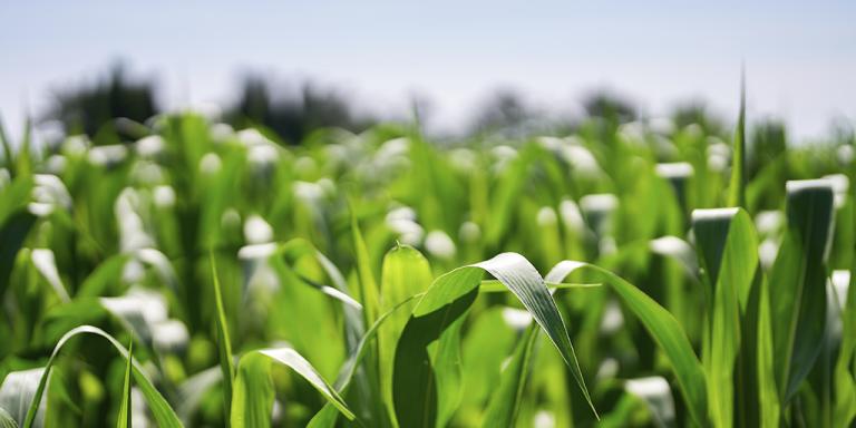 Investir em Sementes de Milho Hibrido é a opção certa, e você pode contar com o Crédito da Terra Magna.