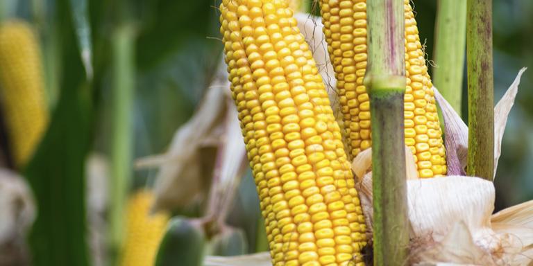 Garanta suas sementes de milho Bayer com o mais rápido e justo crédito do mercado: O Crédito TerraMagna.