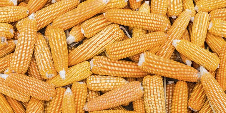 Adquira suas Sementes de Milho Agroceres com o Crédito Rural da TerraMagna.
